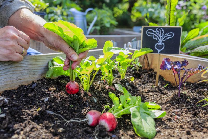 Как правильно вырастить редис