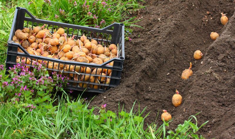 Уникальный метод выращивания картофеля