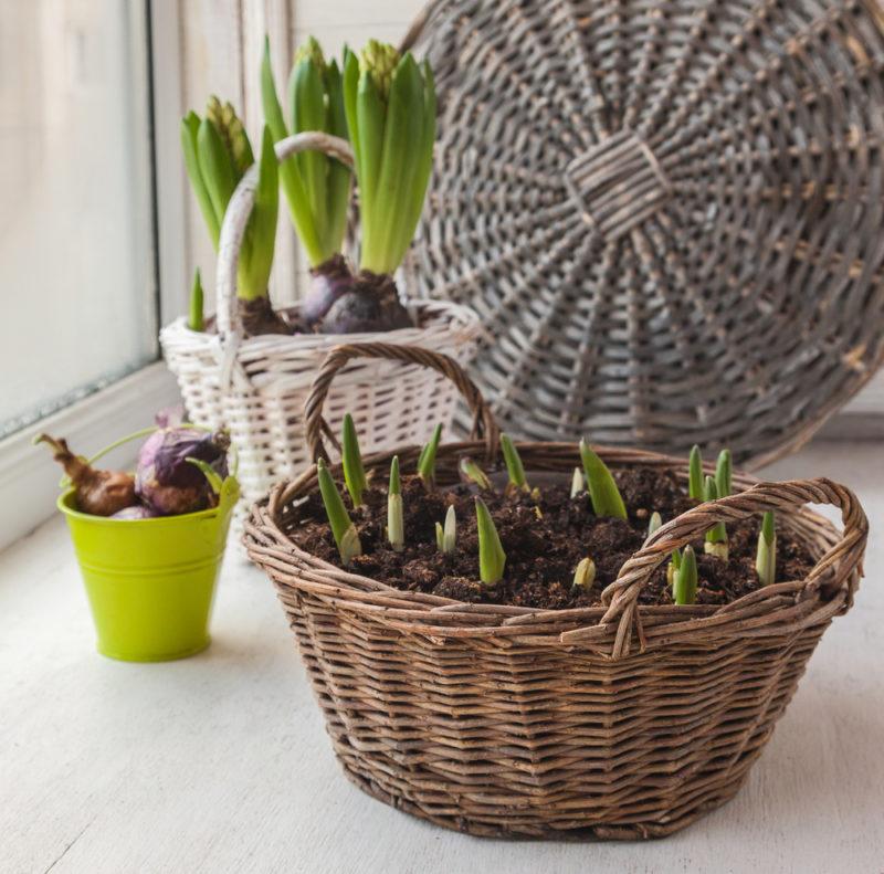 Правила выгонки тюльпанов: как получить цветущее растение к определенной дате