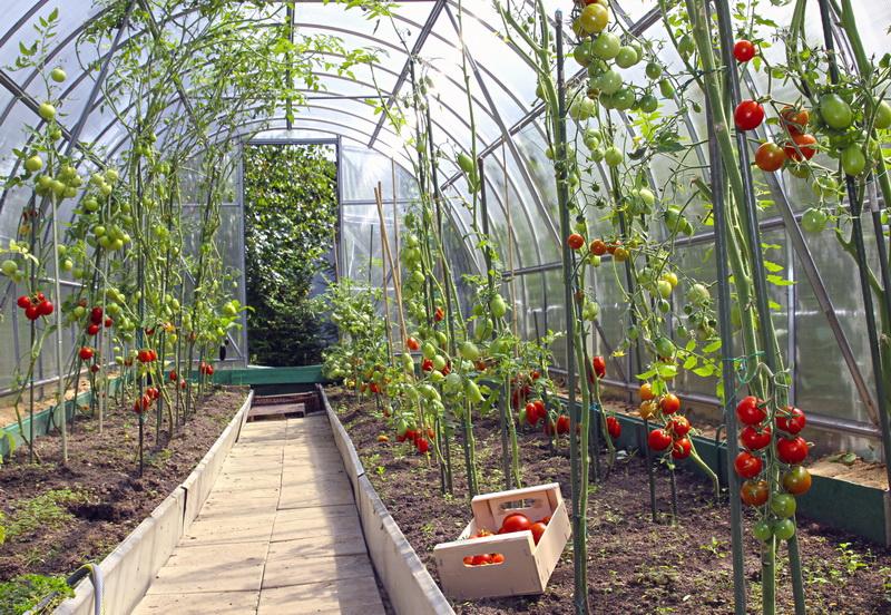 Схемы посадки томатов в теплице и на открытом грунте