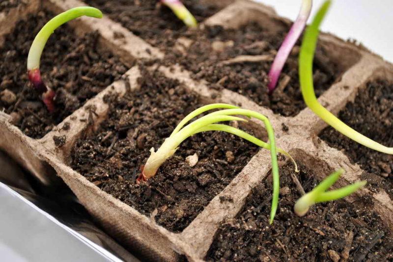 Последовательность выращивания луковой рассады кассетным способом