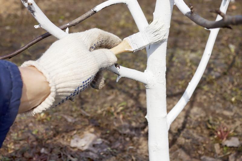 Когда и как правильно побелить деревья и нужно ли это делать