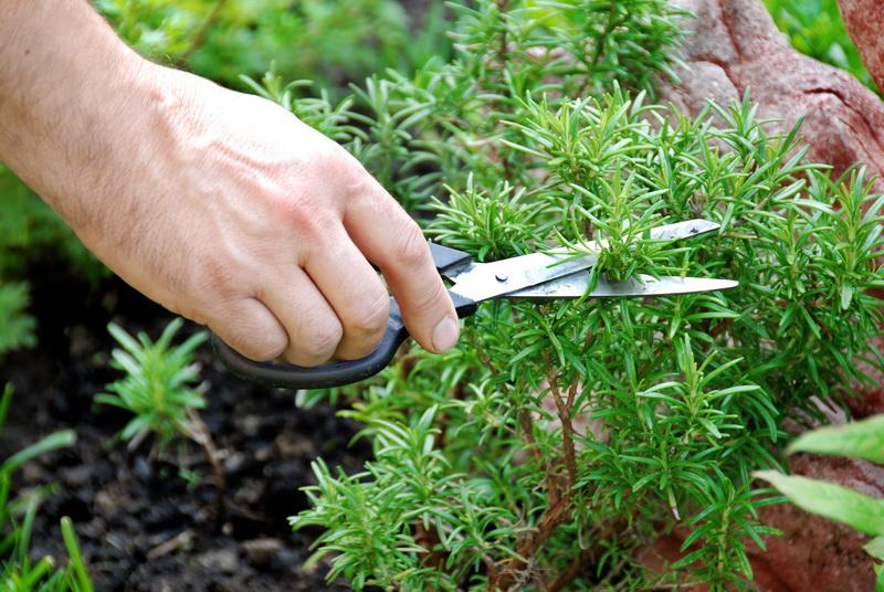 Способ выращивания розмарина, используя магазинную веточку