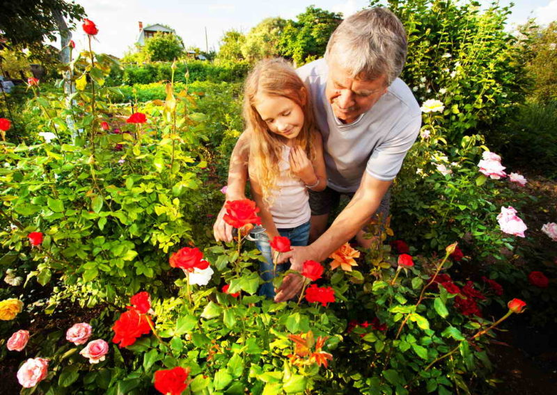 Как правильно сочетать розы с другими растениями
