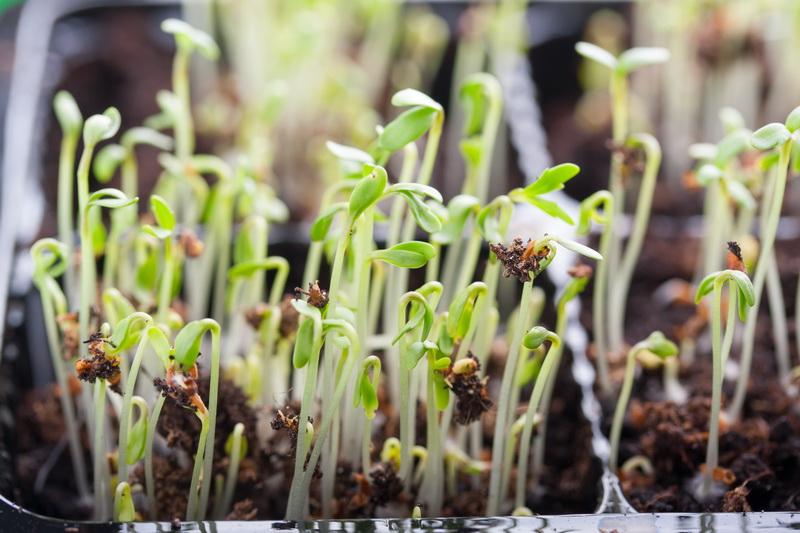 Домашний огород маленького ботаника, или Какие растения можно вырастить с ребенком на подоконнике