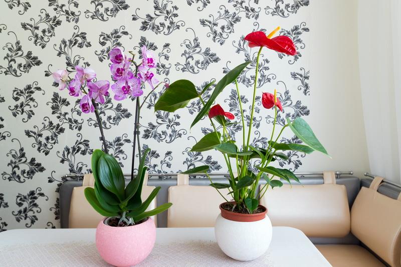 Антуриум цветет как сумасшедший — открываем секреты