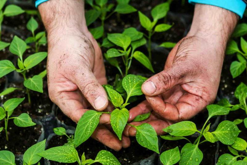 Высадка рассады – как не допустить ошибок? Маленькие хитрости хорошего урожая