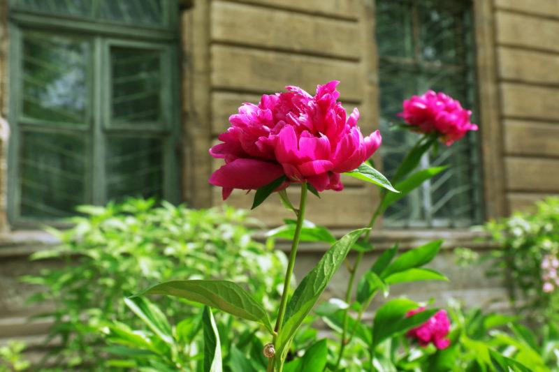 Можно ли сажать пионы весной, некоторые особенности весенней посадки