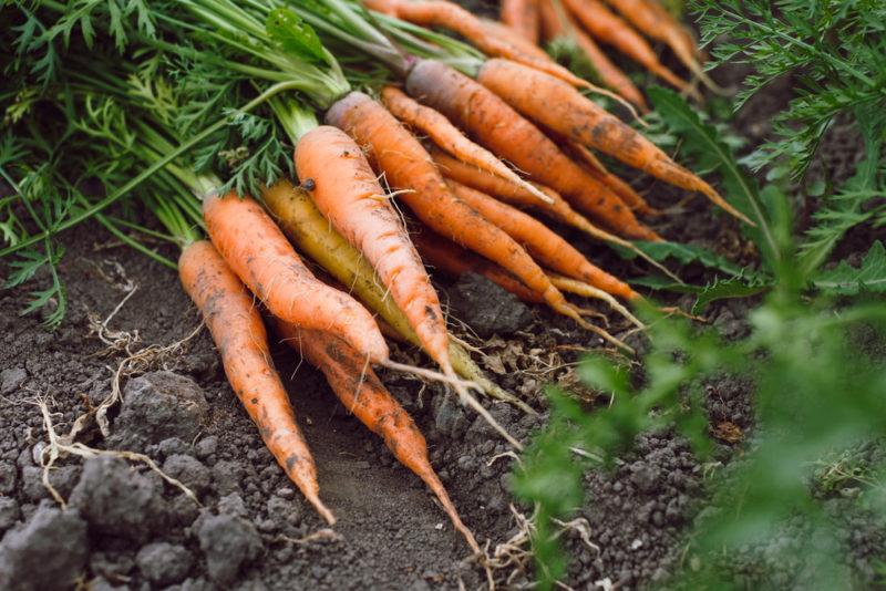 Как просто и эффективно защитить морковь от болезней и вредителей