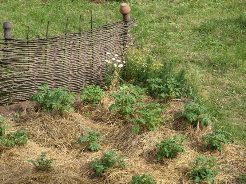 Выращивание овощей на соломе: особенности соломенных грядок