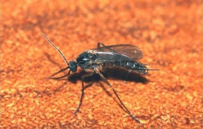 Грибные комарики — причины возникновения и способы борьбы