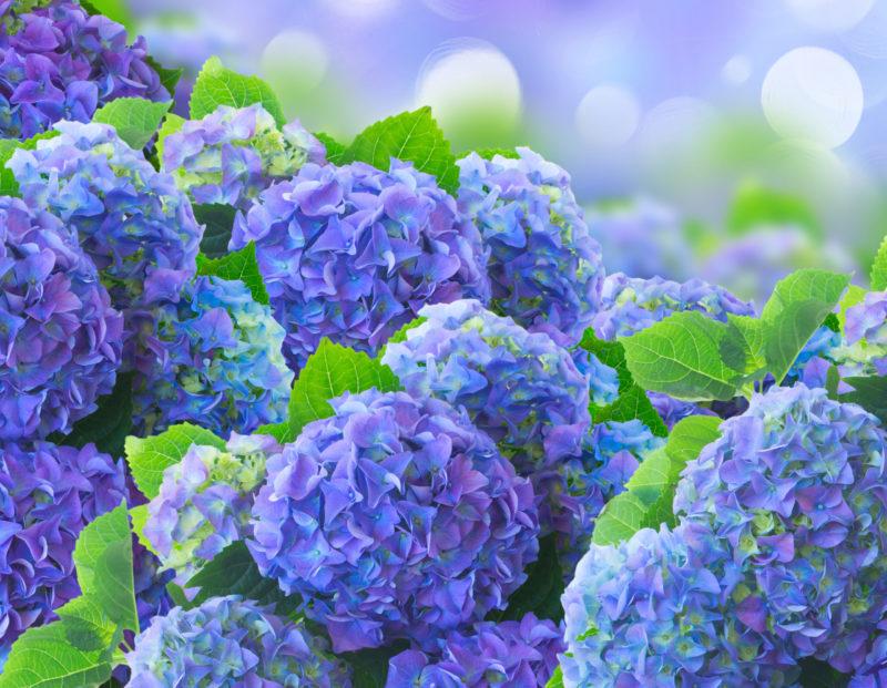 Секрет пышных и ярких цветков гортензии: добейтесь этого с помощью обычной лимонной кислоты