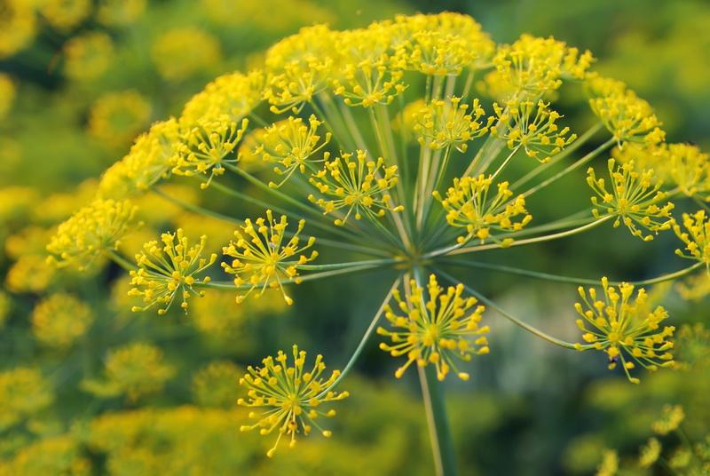Правильный уход за укропом — особенности выращивания для хорошего урожая
