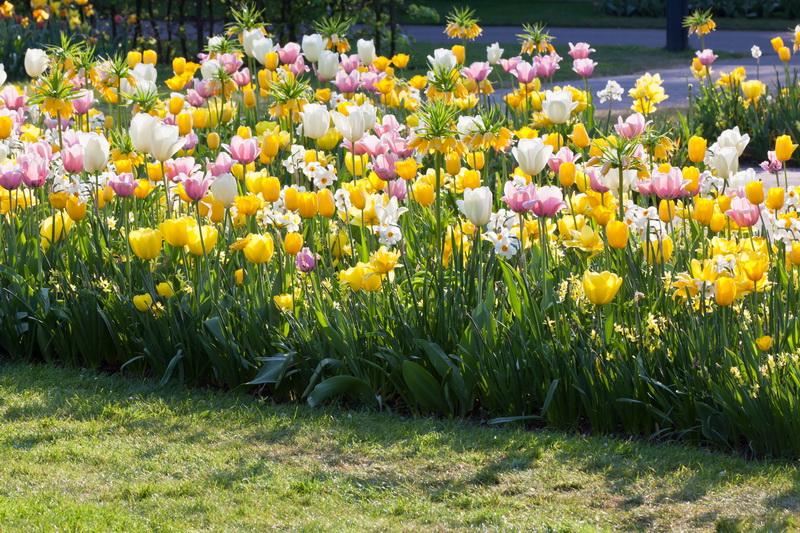 Причины отсутствия цветения у тюльпанов