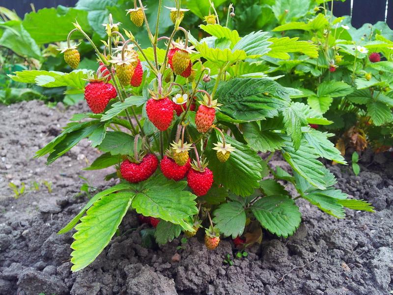 Причины появления мелких ягод клубники и их устранение