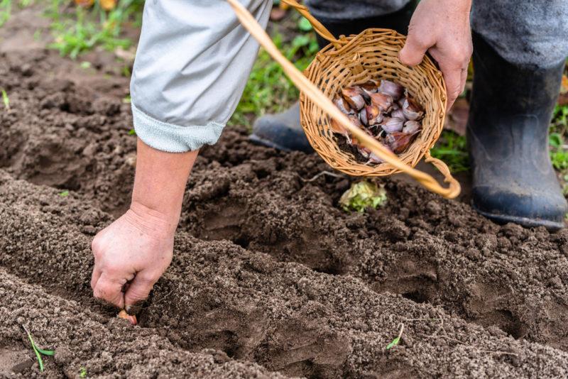 Сибирь изобрела уникальную методику посадки чеснока: без урожая не останетесь