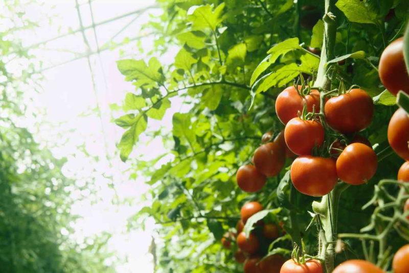 Почему капустные кочерыжки и корни от томатов следует оставлять на грядке