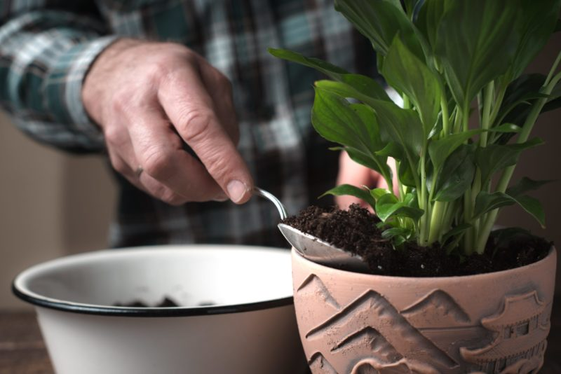 Спатифиллум без цветов: почему и что делать