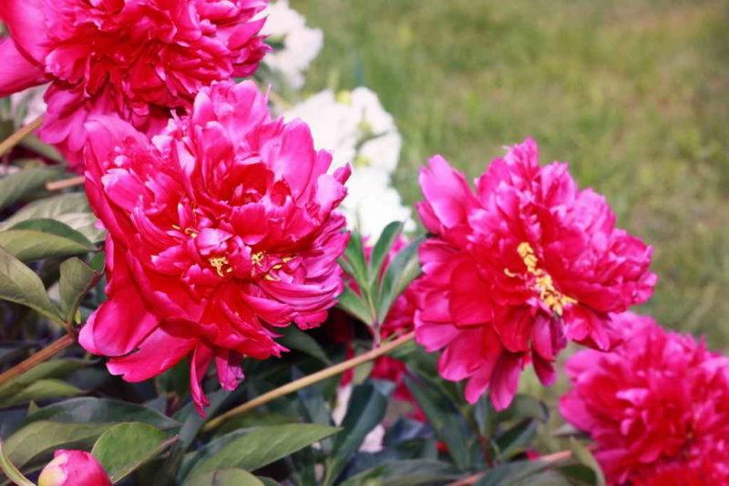 Пышные пионы: чем удобрить весной, чтобы радовали все лето