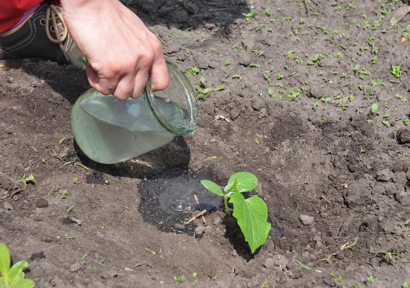 Самая «жгучая» приправа для огорода