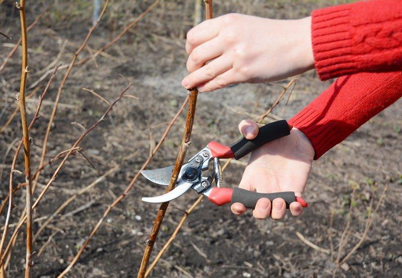 Сладкая ты моя: обрезаем малину по сезонам и правилам
