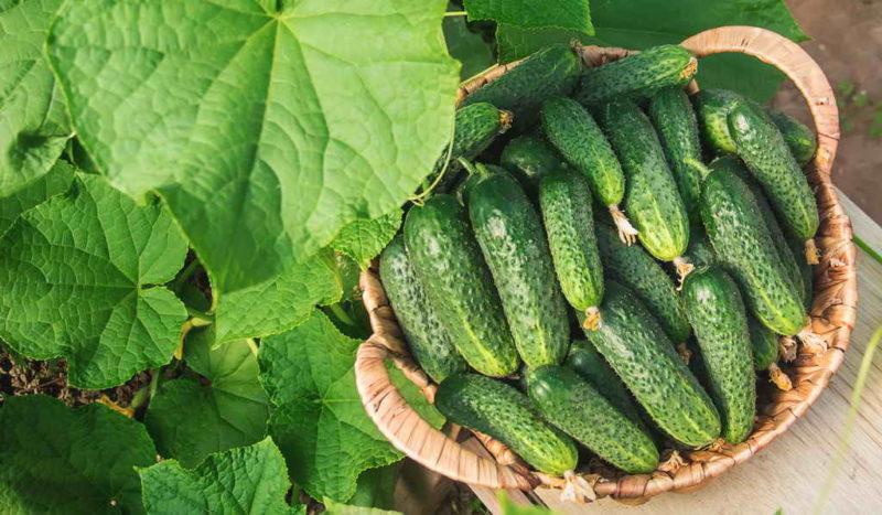Рекомендации по выращиванию огурца