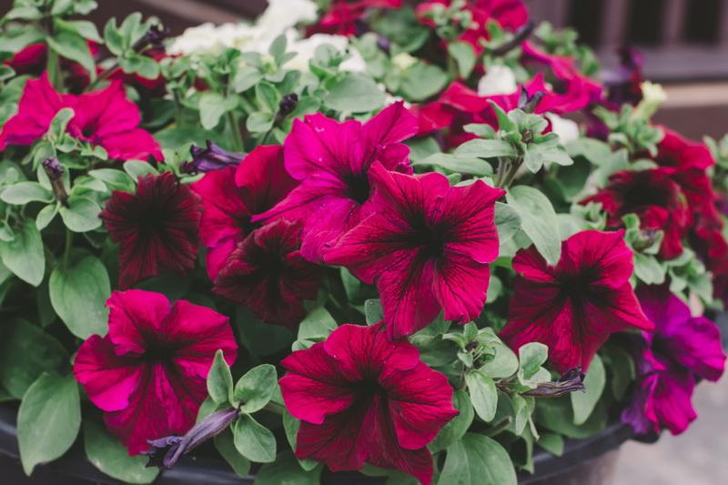 Что делать для обильного цветения петунии: самые эффективные средства