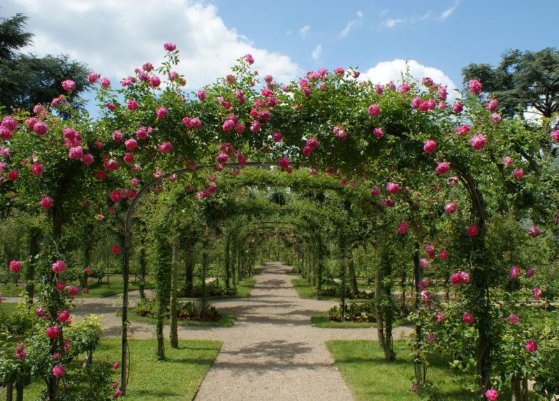 Правила посадки и ухода за плетистой розой
