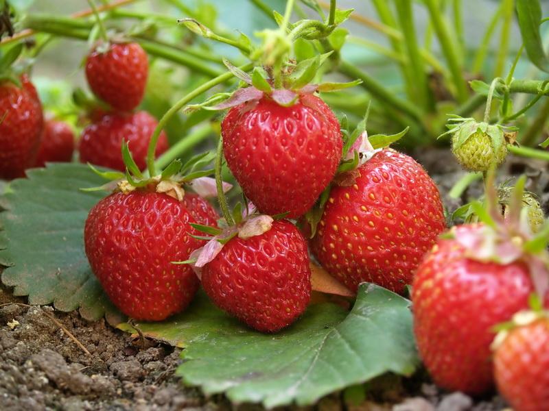 Вырастите много красивой и вкусной клубнички: как правило четырех грядок может помочь в этом
