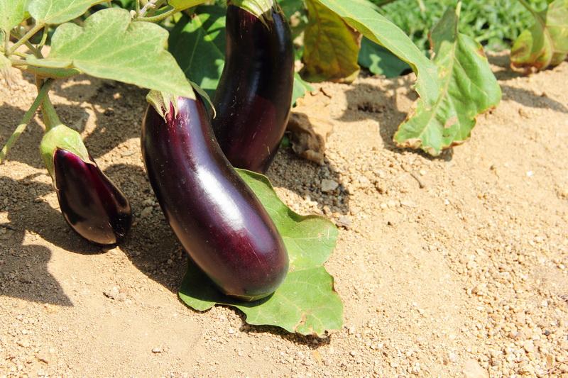 Основные правила выращивания баклажанов