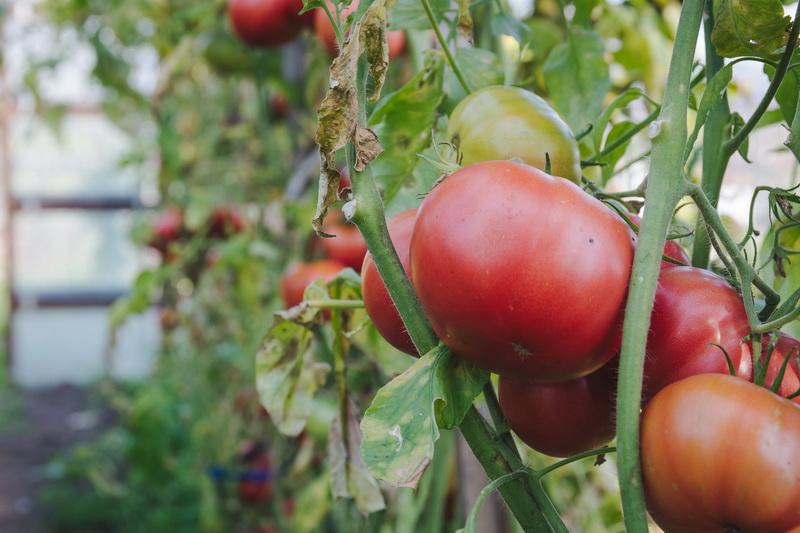 Выращивание помидоров в ведрах — один из эффективных методов культивации овощей