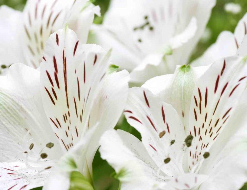 Чем подкормить лилию, чтобы хорошо цвела