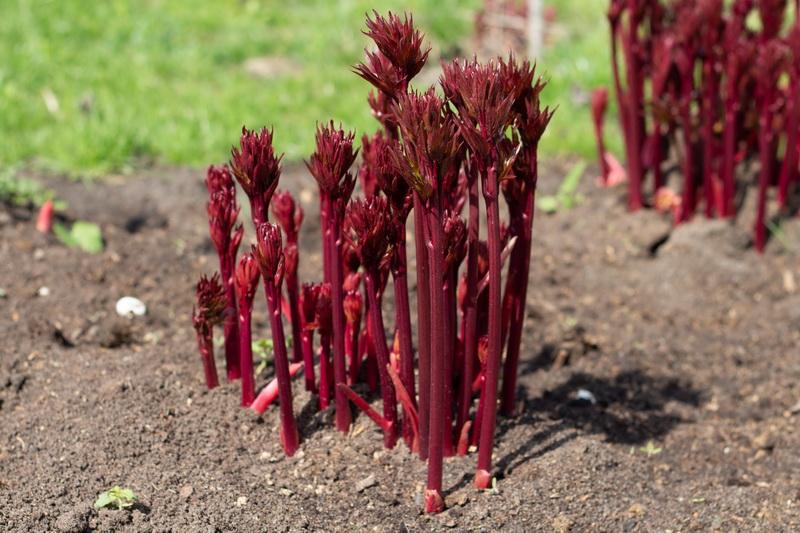 Что делать после того, как пионы отцвели: руководство для садоводов