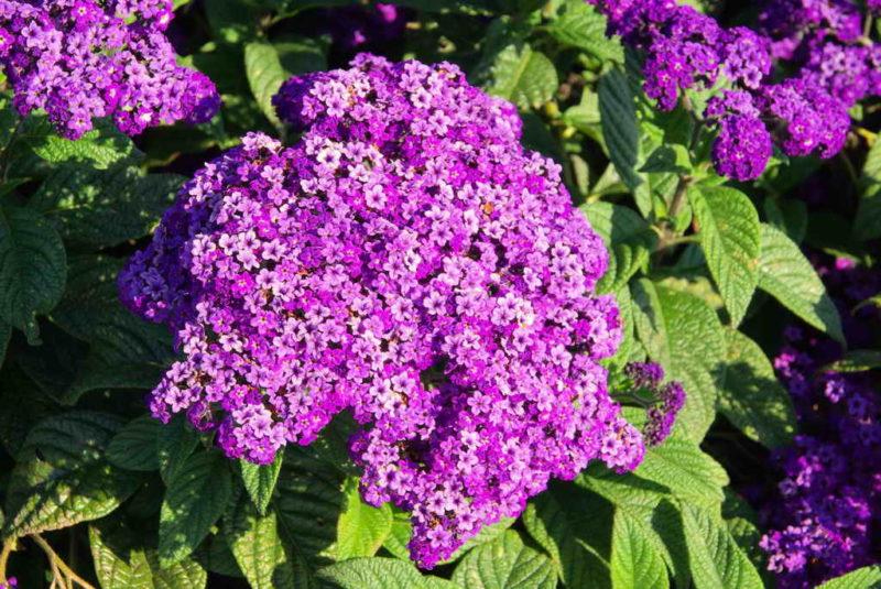 8 самых душистых цветов для сада