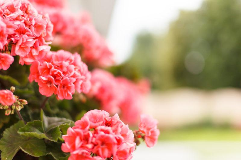 Солнце, воздух и йод: что нужно герани для пышного цветения