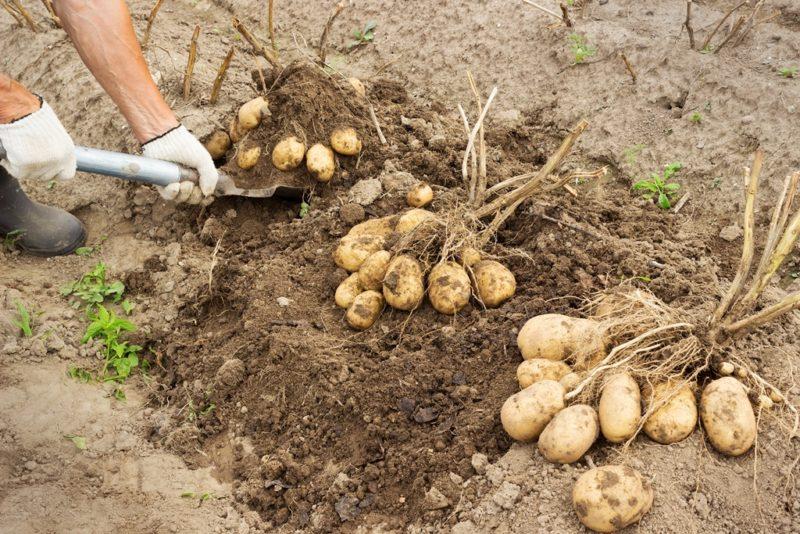 Картофель: собираем урожай