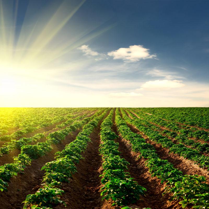 Восстанавливаем землю после выращивания картофеля