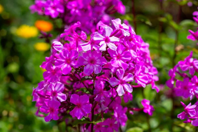 Как добиться обильного цветения флоксов