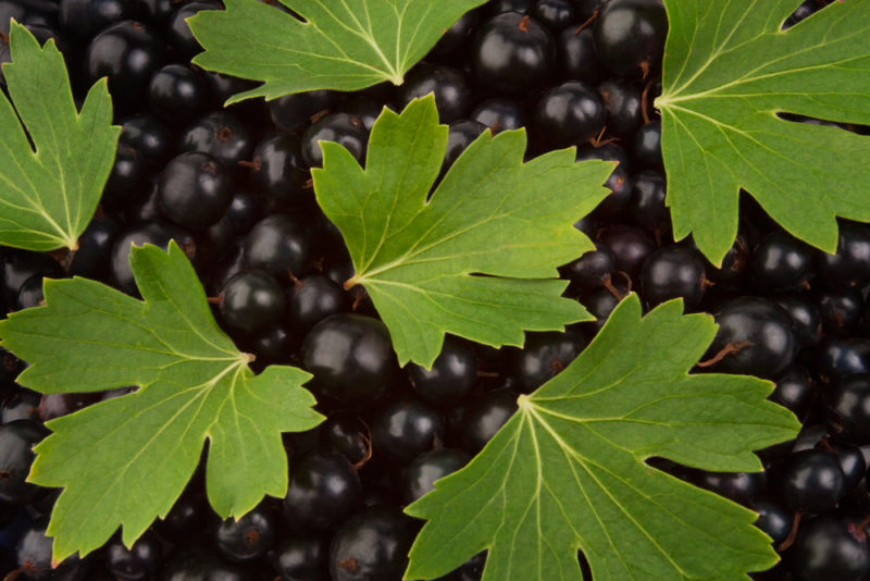 Что делать для омоложения кустов черной смородины