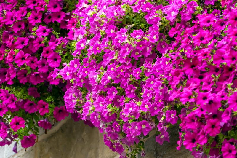 Петуния — секреты пышного цветения и красивой формы куста
