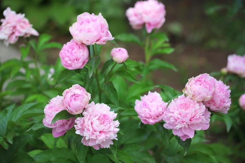 Как ухаживать за пионами после цветения. Что с ними делать дальше?