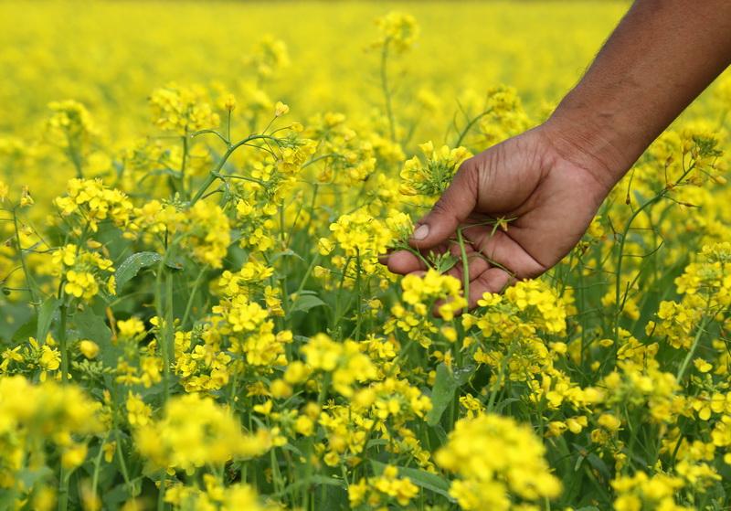 Сидераты для осеннего посева: какие выбрать