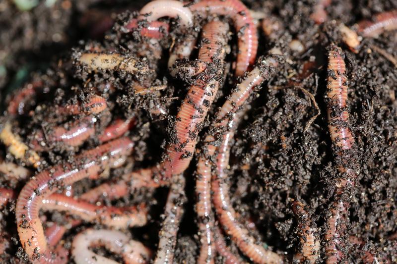 Получение биогумуса от красных калифорнийских червей