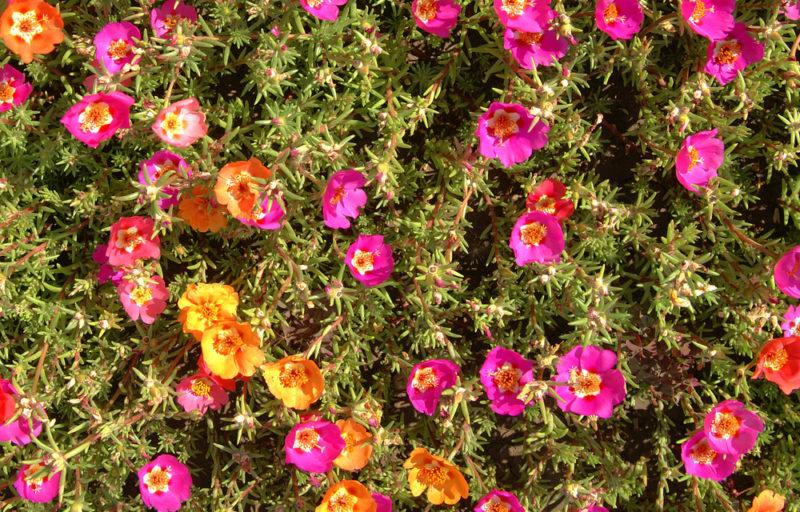 Краски лета на клумбе с портулаком — для тех, кому лень возиться в цветнике