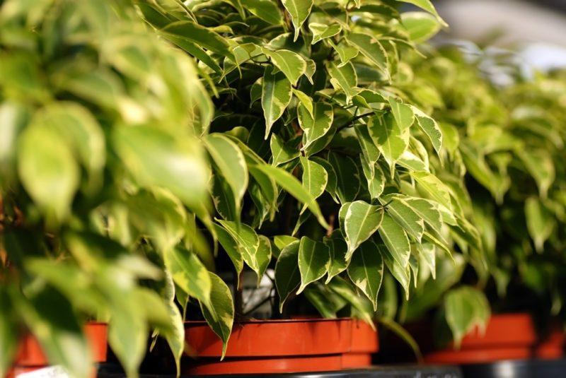 Фикус Бенджамина: как ухаживать за растением, чтобы сохранить его декоративность