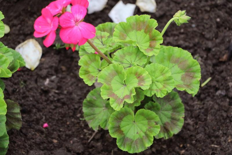 Обильно цветущая герань: секреты выращивания