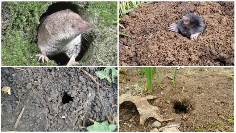 Способы борьбы с «милым» млекопитающим — землеройкой