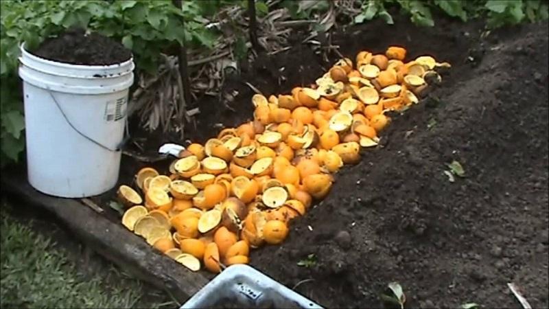 Как с пользой применить апельсиновую кожуру на даче и огороде