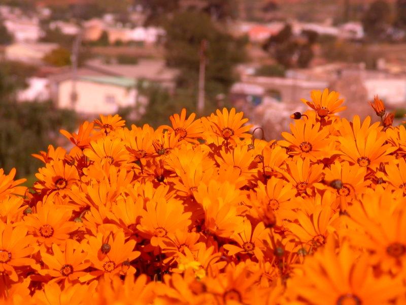 Прелестнейший цветок урсиния, украшающий ваш сад до поздней осени