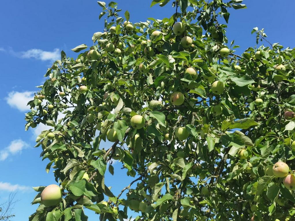 Коричное полосатое — один из лучших сортов яблонь